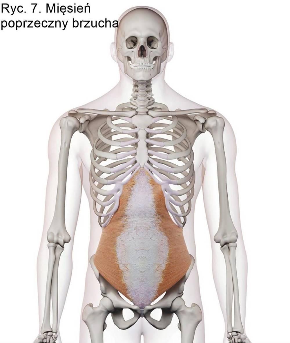 Ryc. 7. Mięsień poprzeczny brzucha